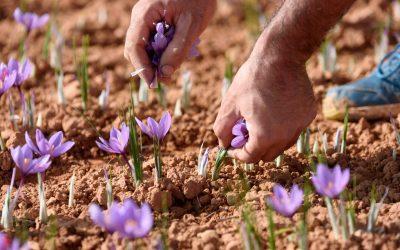 Comment planter le safran étape par étape